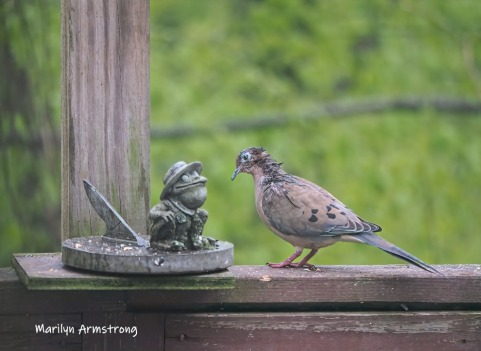 A common Mourning Dove discussing life with a stone Frog.