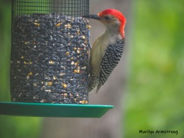 One Red-Bellied Woodpecker