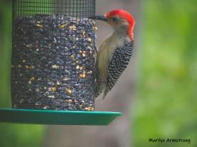 One Red-Bellied Woodpecker
