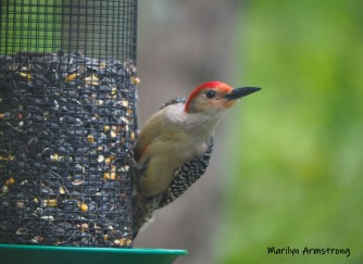 300-red-bellied-woodpecker-2-05192019_121.