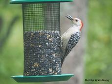 300-red-belly-woodpecker-05192019_010