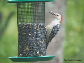 300-red-belly-woodpecker-05192019_010