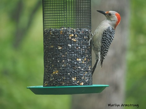 300-red-belly-woodpecker-05192019_035