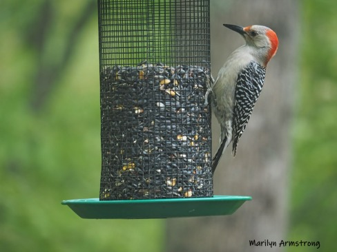 300-red-belly-woodpecker-05192019_035