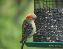 300-red-belly-woodpecker-05192019_049
