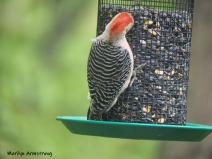 300-red-belly-woodpecker-05192019_051