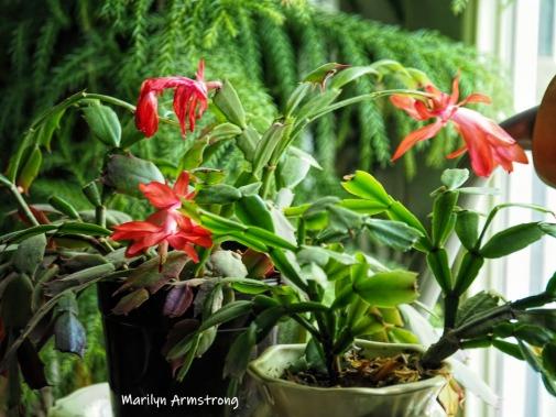 300-red-cactus-05182019_014