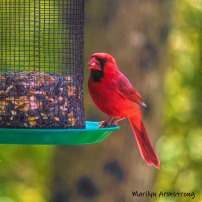 The brightest Cardinal in our garden