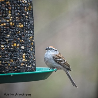 Another Chipping Sparrow. These are surprisingly friendly little garden birds.