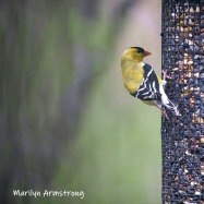 300-square-goldfiinch-birds-05052019_105