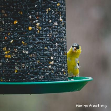 A little Goldfinch