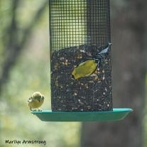 300-square-goldfinches-05072019_016