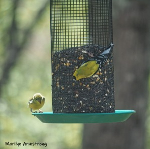 300-square-goldfinches-05072019_016