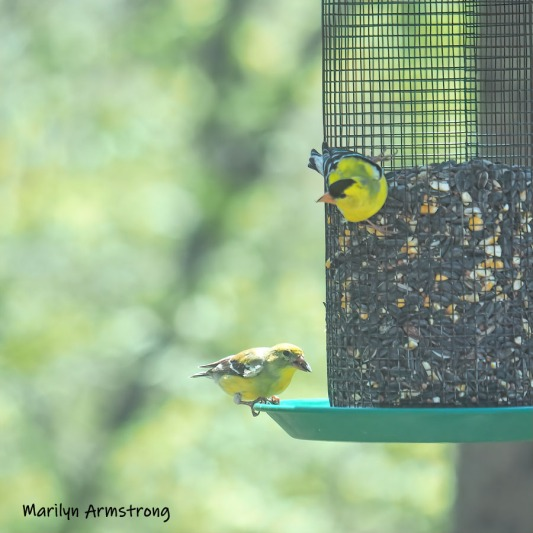 300-square-goldfinches-05072019_020