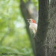 Red-Bellied Woodpecker high in a tree