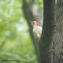 300-square-in-tree-red-belly-woodpecker-05192019_055