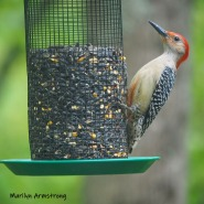 Red-bellied Woodpecker -- and you can actually see his red belly!