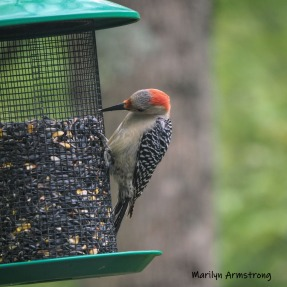 300-square-red-belly-woodpecker-05192019_020