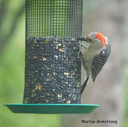 300-square-red-belly-woodpecker-05192019_031