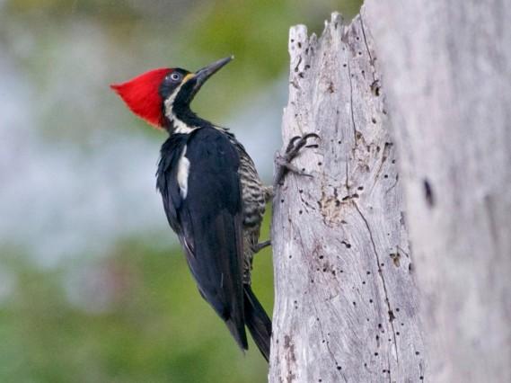 Pileated Woodpecker - 2