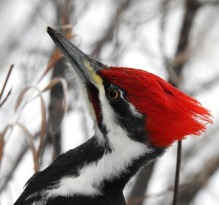 Pileated-Woodpecker - Head shot (I didn't take this picture, either).
