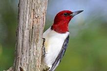 Red-Headed Woodpecker - Photo: Brian Wolf