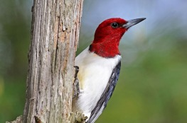 Red-Headed Woodpecker - Photo: Brian Wolf