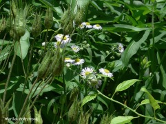 180-Asters-Wildflowers-06242019_004