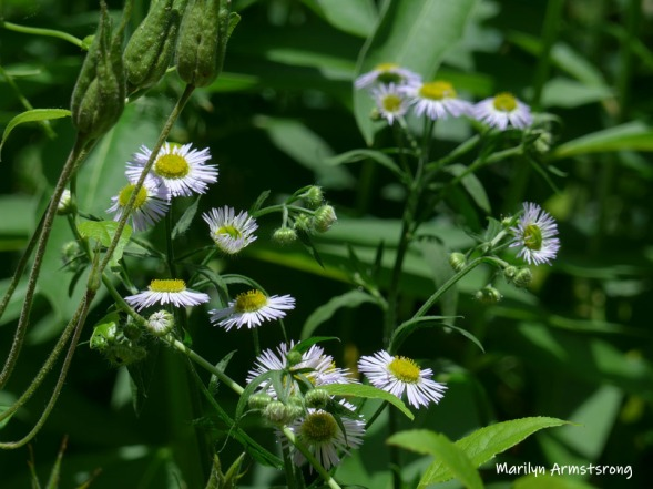 180-Asters-Wildflowers-06242019_011