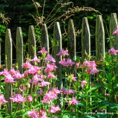 Columbine along the picket fence