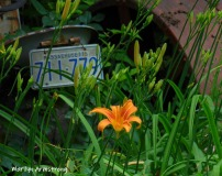 180-Daylilies-Tractor-06292019_008