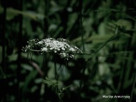 180-Queen-Anne's-Lace-Wildflowers-06242019_007