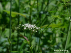 Queen Anne's Lace again