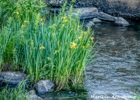 Yellow flowers in the river