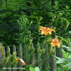 180-Square-Daylilies-06292019_006