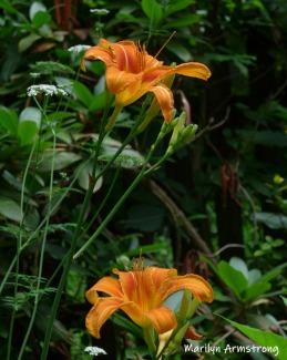 180-Two-Daylilies-06292019_005