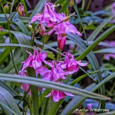 240-Square-Columbine-Flowers-1-06032019_017B