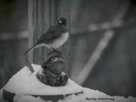 Junco with the toad