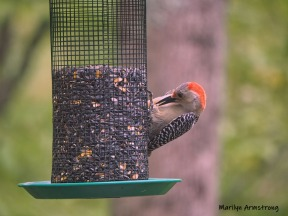 300-red-belly-woodpecker-05192019_005
