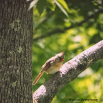 Lady Cardinal on a branch up in a tree