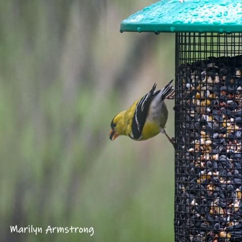 300-square-goldfiinch-birds-05052019_110