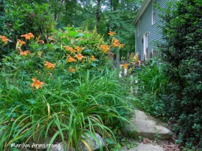 Lots and lots of daylilies