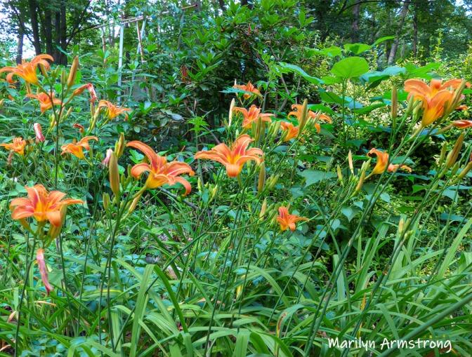180-Daylilies-1-07012019_105