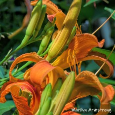 A clump of daylilies