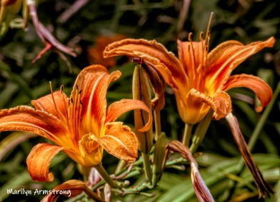 A pair of daylilies