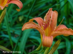 180-Pair-Of-Daylilies-1-07012019_109