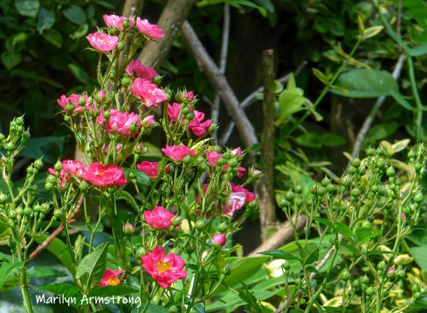 180-Pink-July-Roses-07102019_022