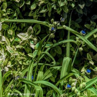 180-Square-Blue-Spiderwort-06242019_102