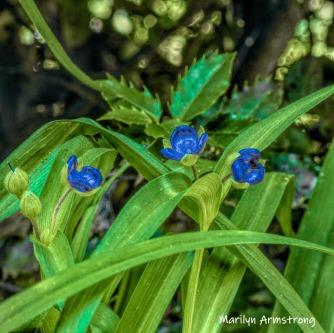 180-Square-Blue-Spiderwort-06242019_105