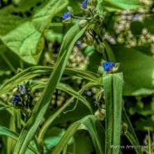 180-Square-Blue-Spiderwort-06242019_108